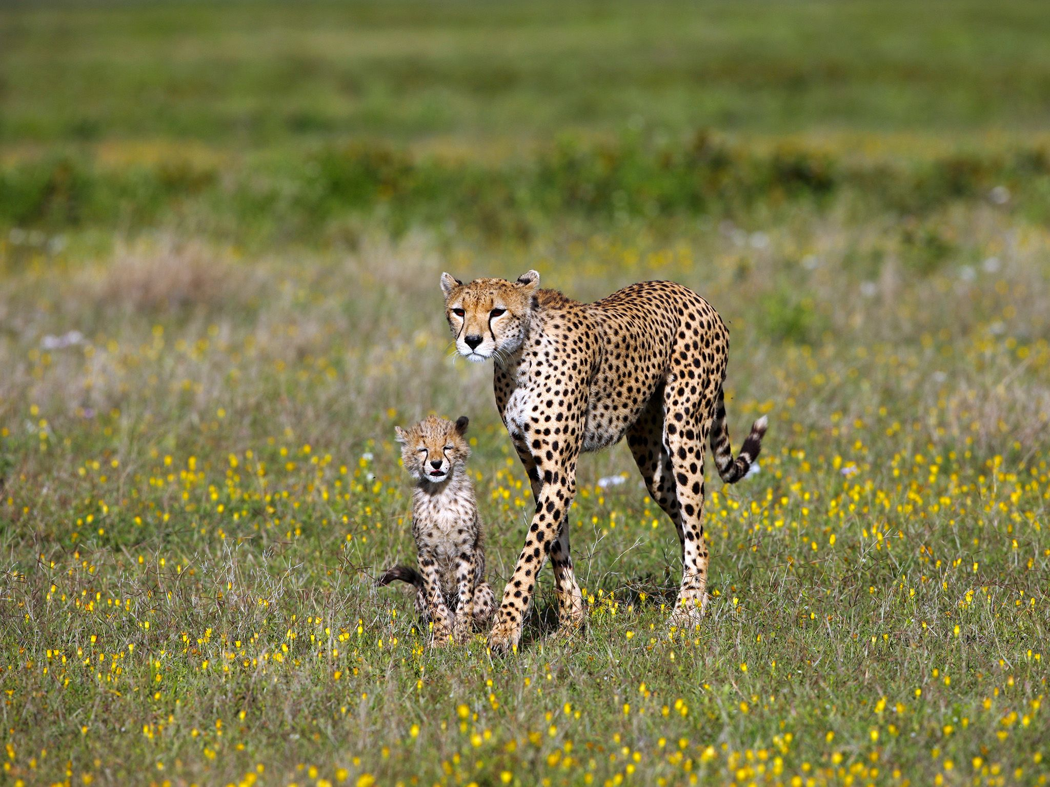 The life of a young cheetah is dangerous - often other predators kill the cubs of their... [Photo of the day - November 2020]