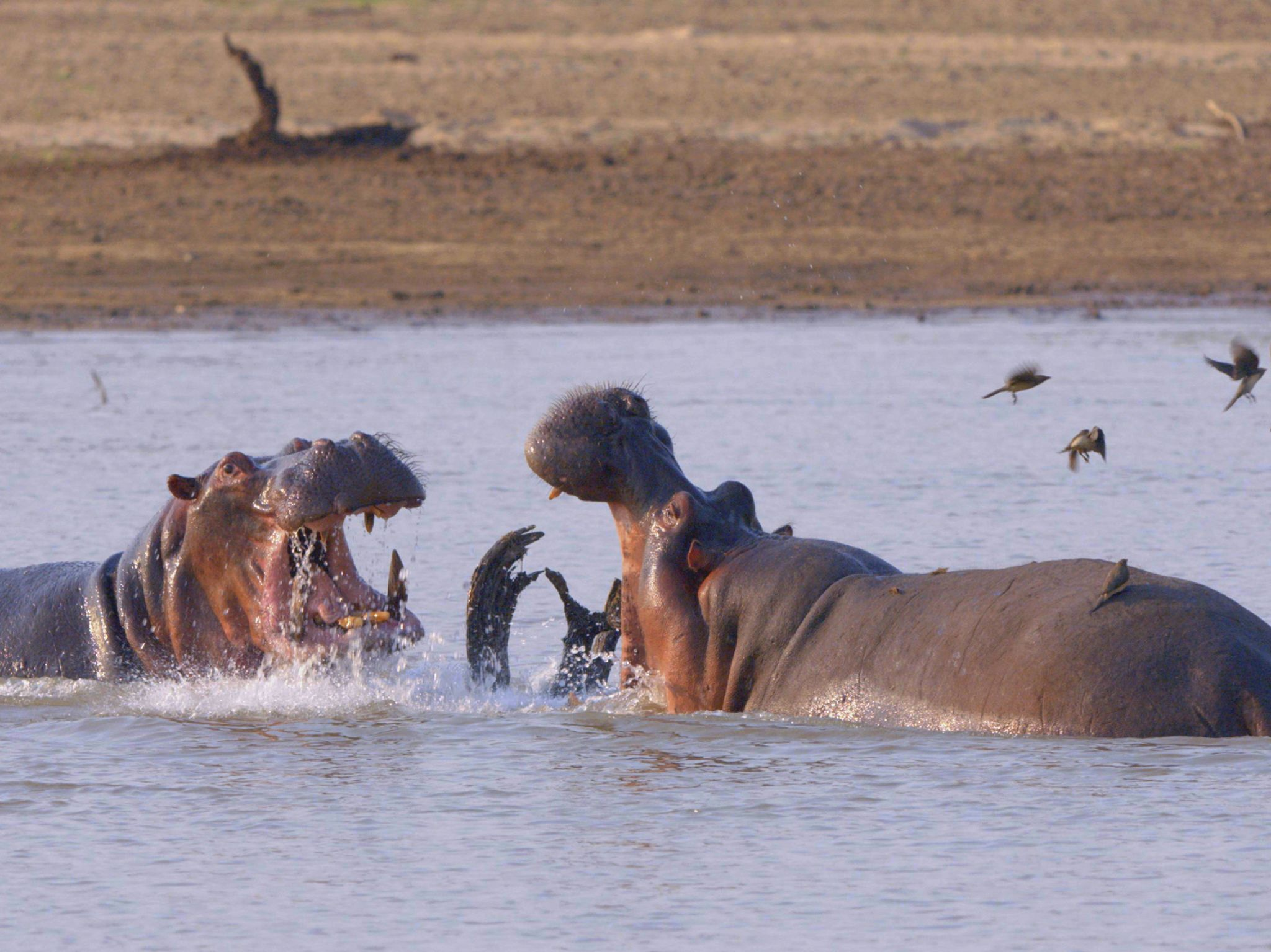 Hippos fighting. This image is from Africa's Deadliest. [Photo of the day - November 2020]