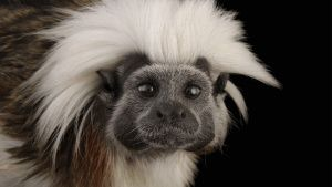 An endangered cotton-top tamarin,... [Photo of the day - 25 NOVEMBER 2020]