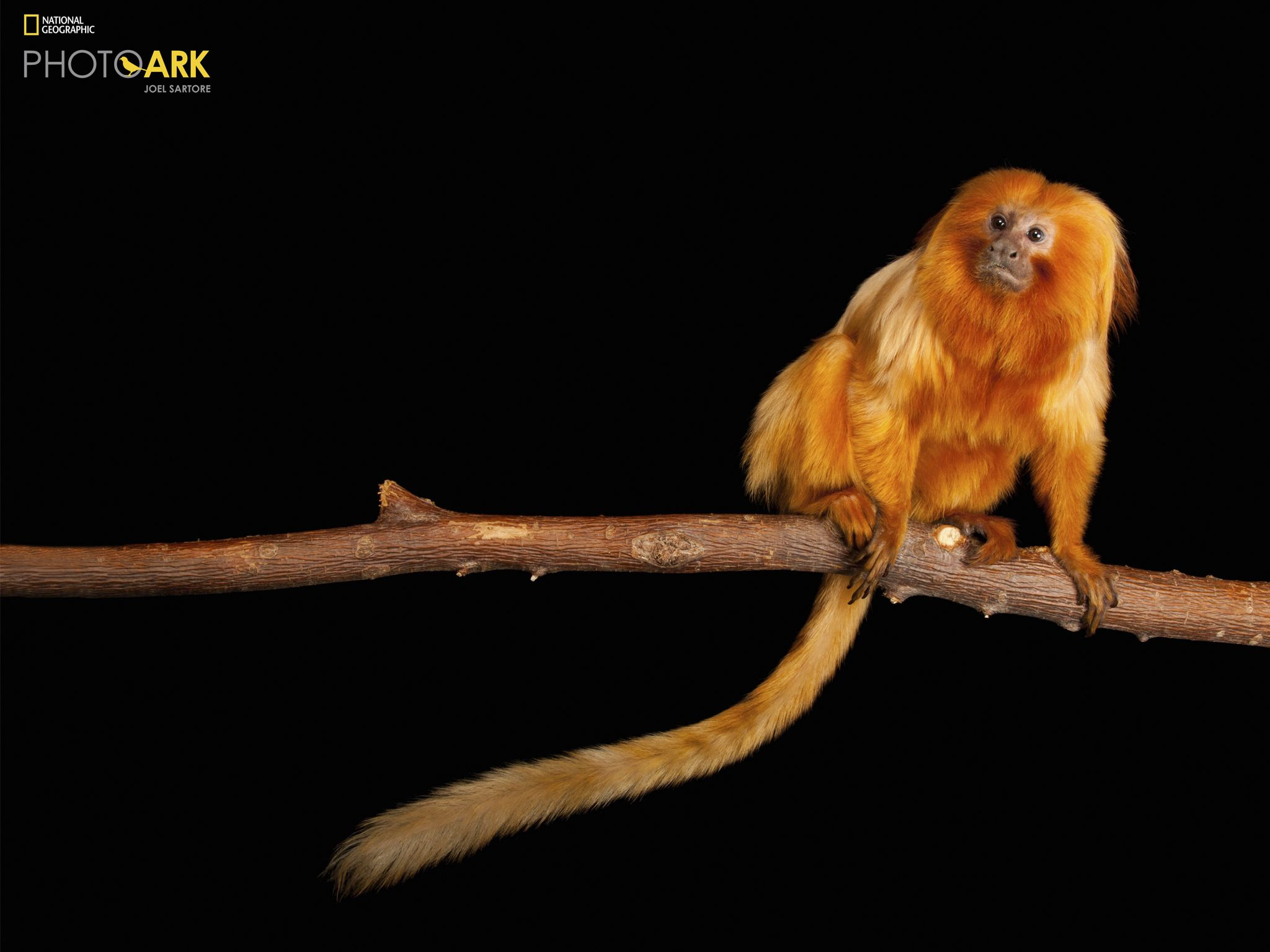 An endangered Golden lion tamarin, Leontopithecus rosalia, at the Lincoln Children's Zoo. This... [Photo of the day - November 2020]