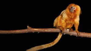 An endangered Golden lion tamarin,... [Photo of the day - 29 NOVEMBER 2020]