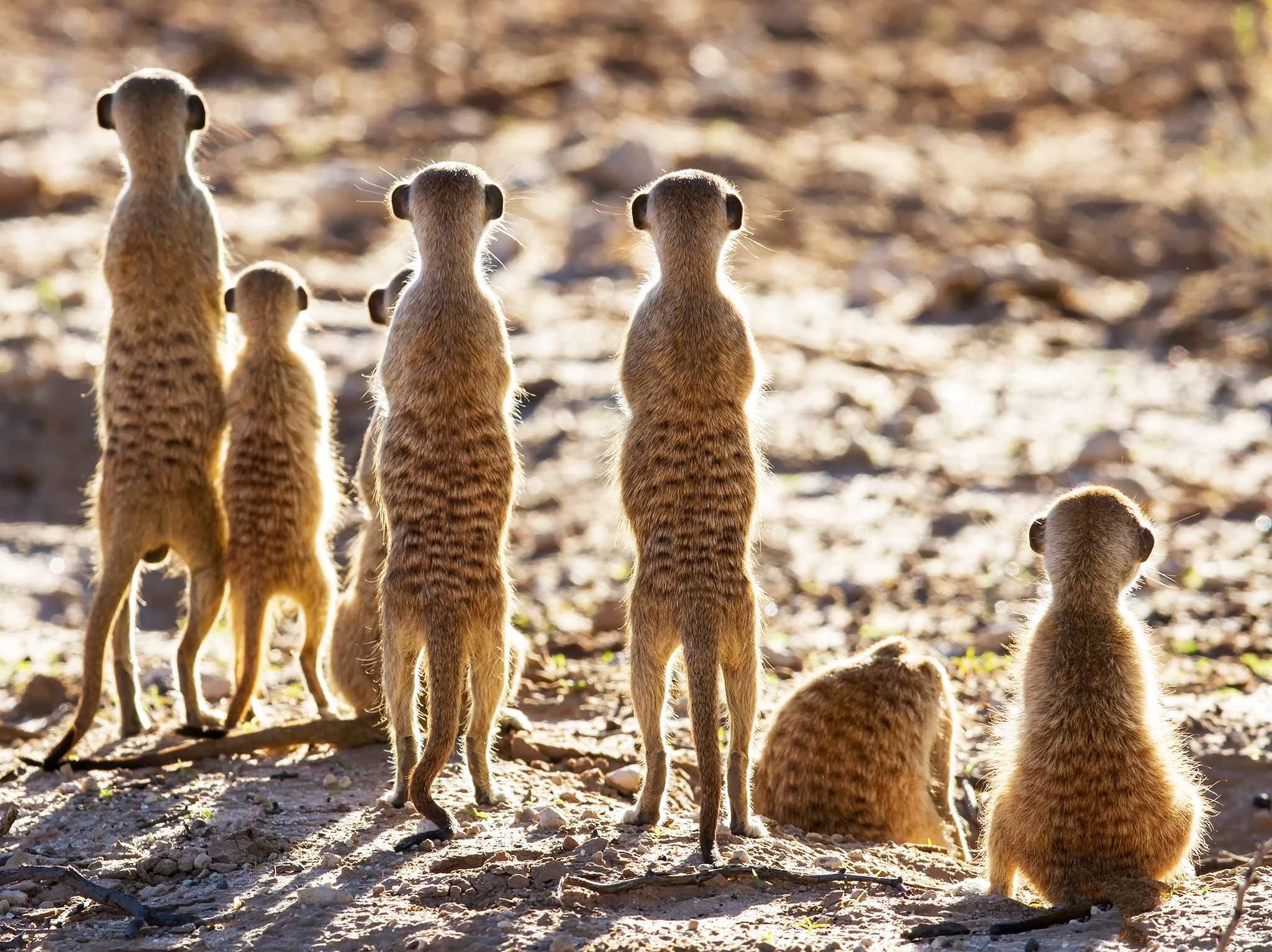 Meerkat sentries stand guard over their home, prepared to take on any less-than-friendly... [Photo of the day - December 2020]