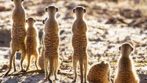 Meerkat sentries stand guard over... [Photo of the day -  3 DECEMBER 2020]