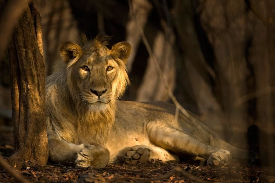 Gir National Park, Gujarat, India: A male Asiatic lion takes a glance at the camera while... [Photo of the day - May 2012]