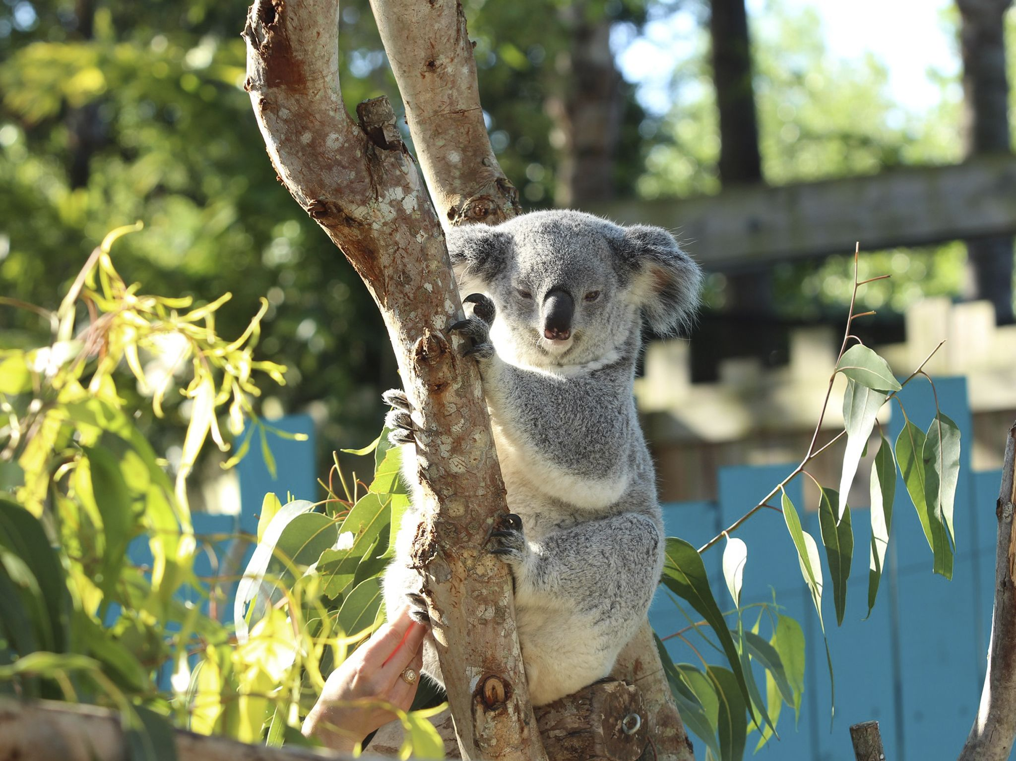 Keepers noticed that Ceduna the koala was becoming very protective of her pouch area which could... [Photo of the day - December 2020]