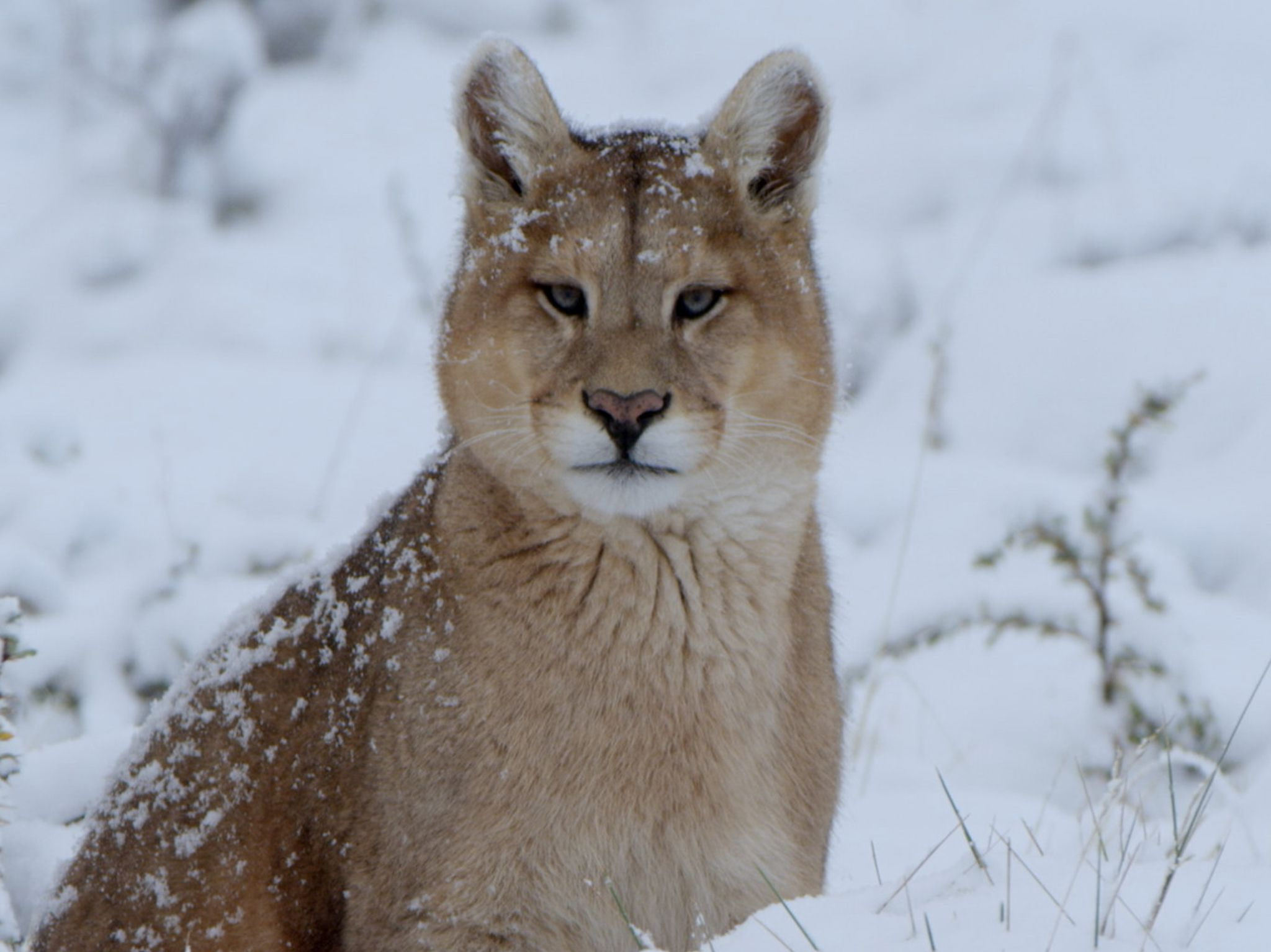 A Puma hunting in the snowy Chilean mountains. This image is from Winters Hidden Wonders. [Photo of the day - December 2020]
