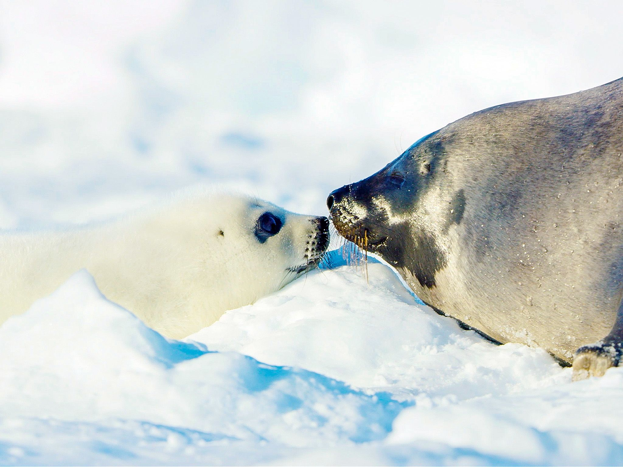 Two seals face-to-face in the arctic snow. In Wild_Life: The Big Freeze, filmmaker Bertie... [Photo of the day - December 2020]