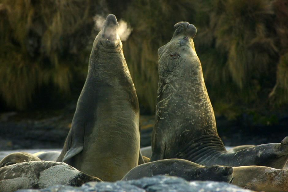 Falkland Islands- elephant seals. This image is from Great Migrations. [Photo of the day - May 2012]