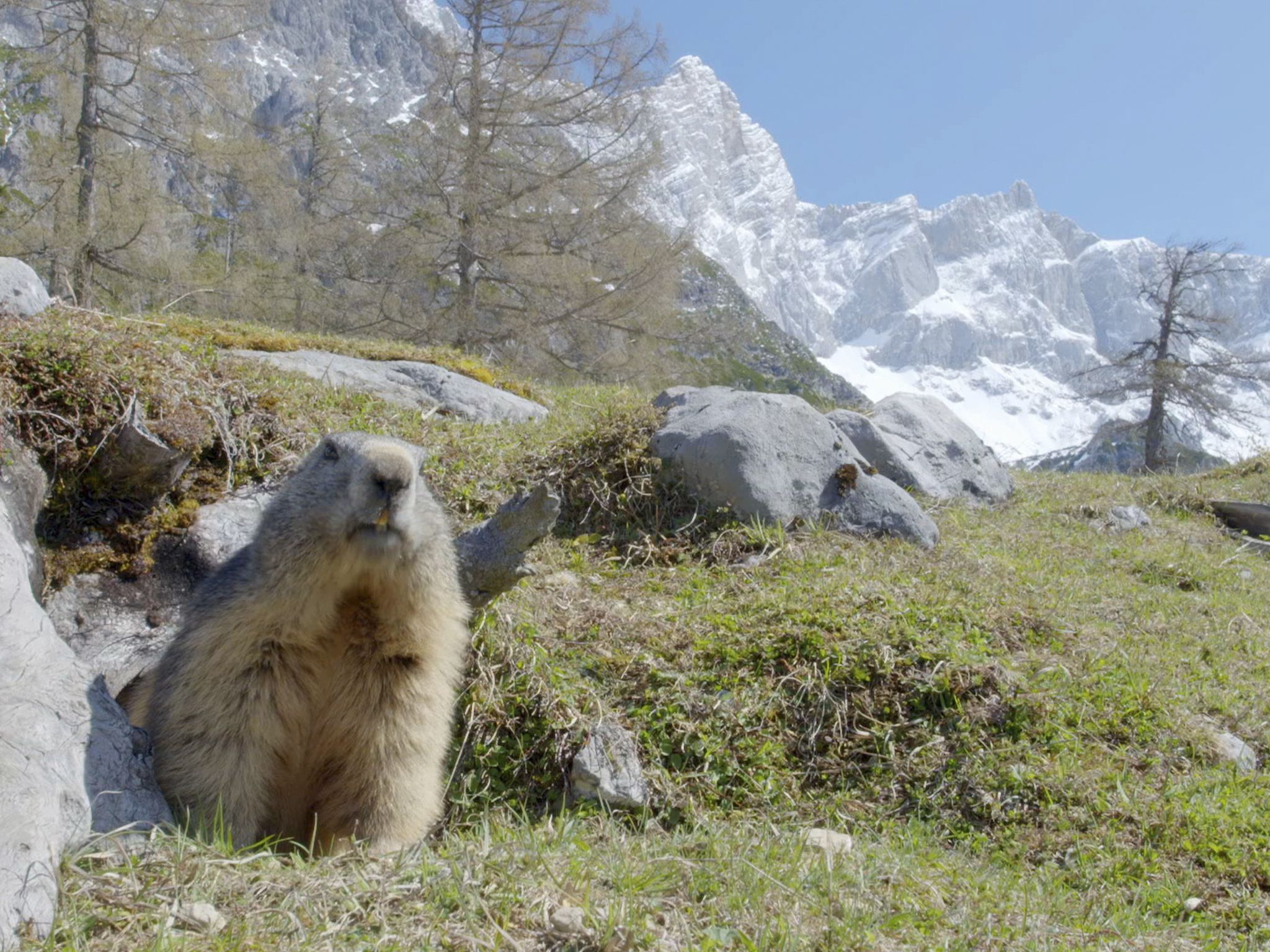 European alpine marmot looking for nest-building materials for their winter burrow in the Alps.... [Photo of the day - December 2020]