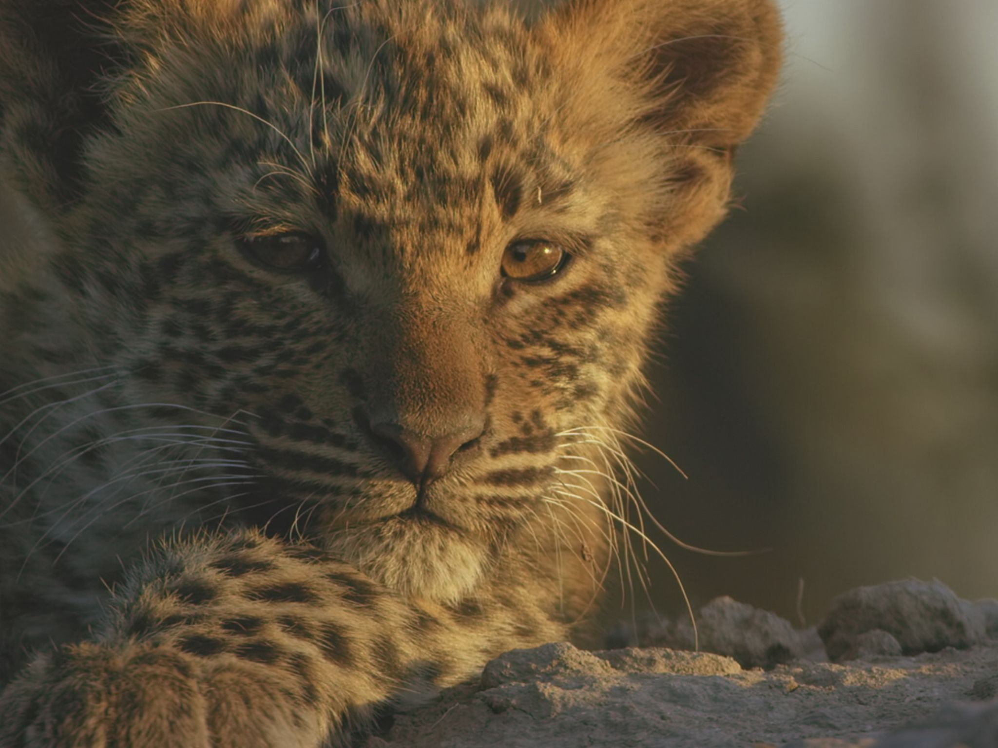 Leopard cub portrait. This image is from Savage Kingdom. [Photo of the day - January 2021]