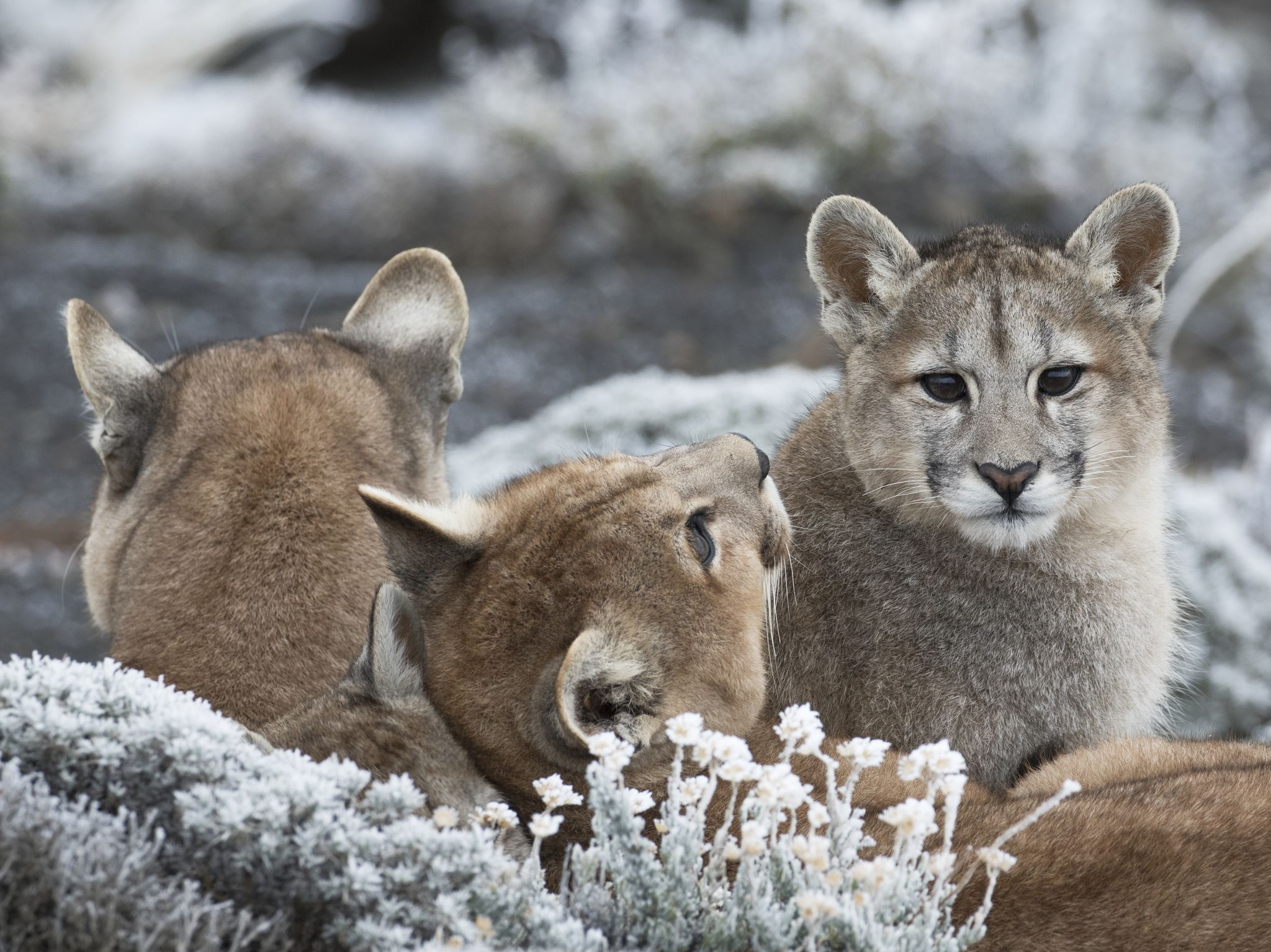 A puma mother and her three cubs resting together. This image is from Pumas at The End of The World. [Photo of the day - January 2021]