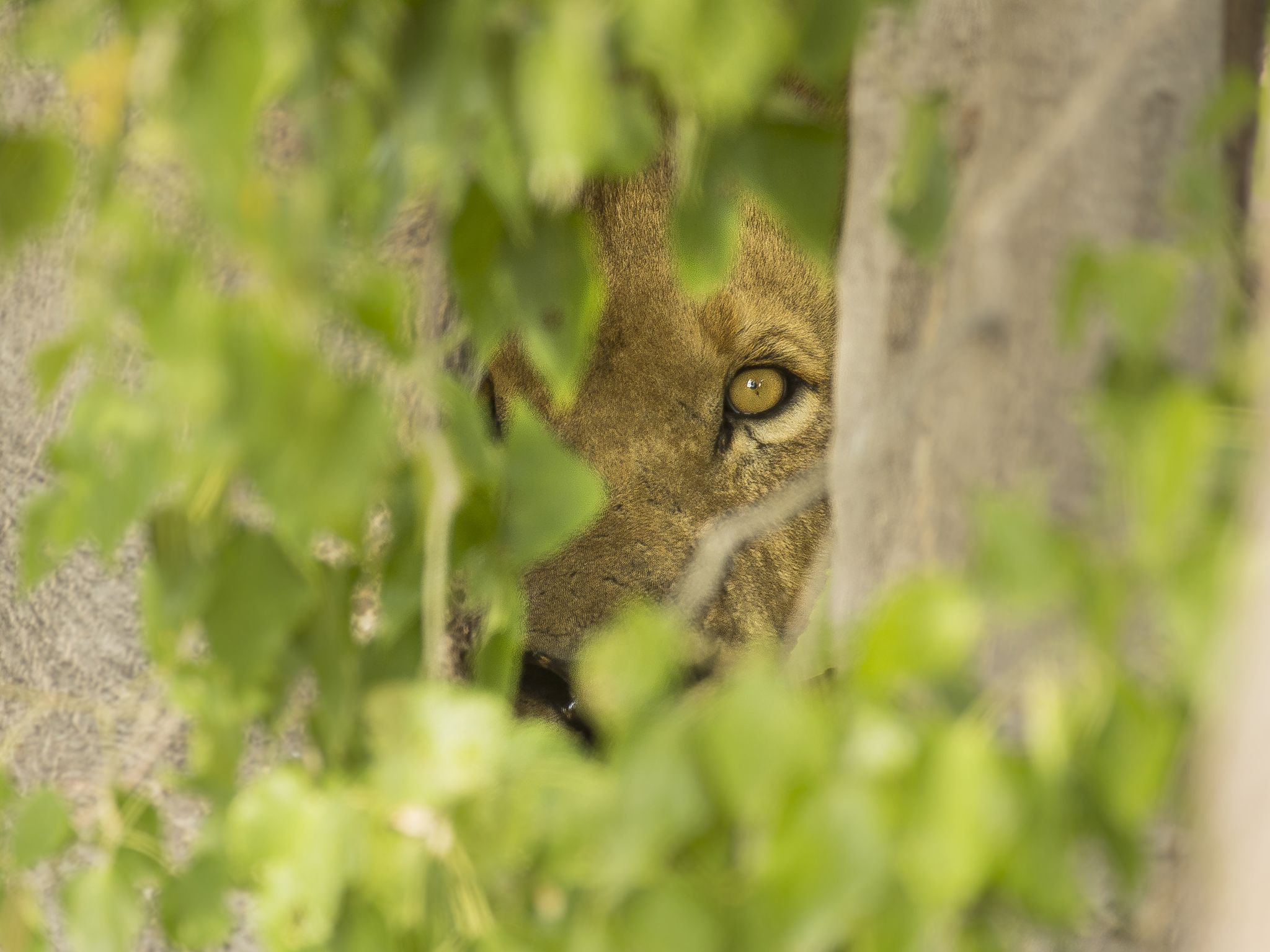 A large male lion hides in the bushes. This image is from Savage Kingdom. [Photo of the day - January 2021]