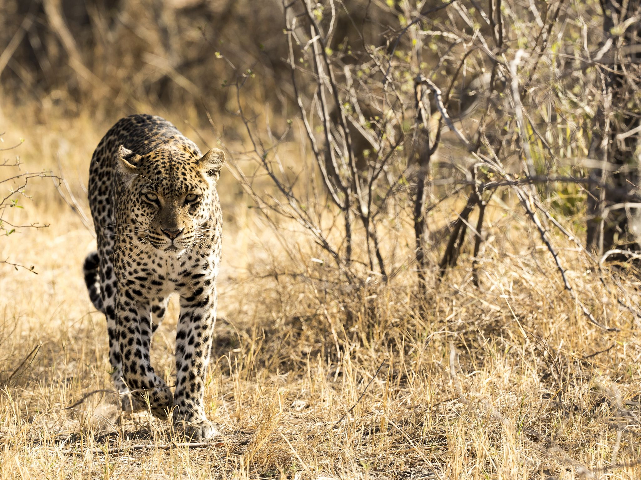 Phefo returning to her den. This image is from Savage Kingdom. [Photo of the day - January 2021]