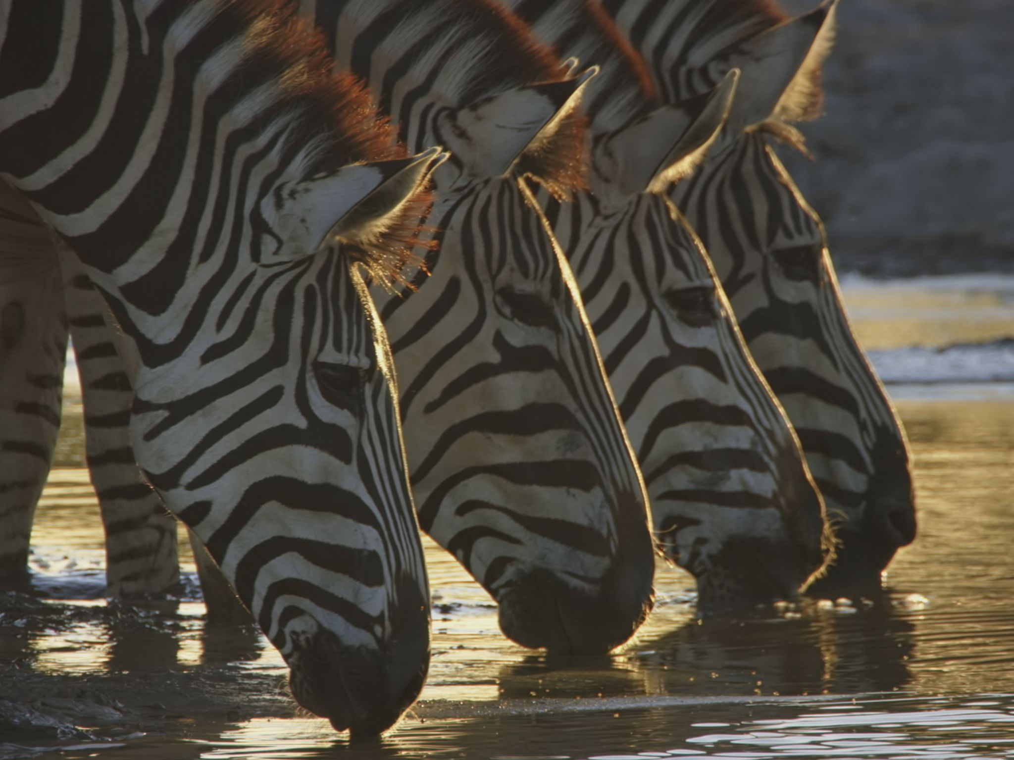 Zebras at a water hole. This image is from Savage Kingdom. [Photo of the day - January 2021]