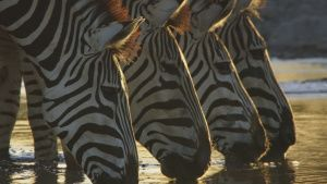 Zebras at a water hole. This image... [Photo of the day - 14 JANUARY 2021]