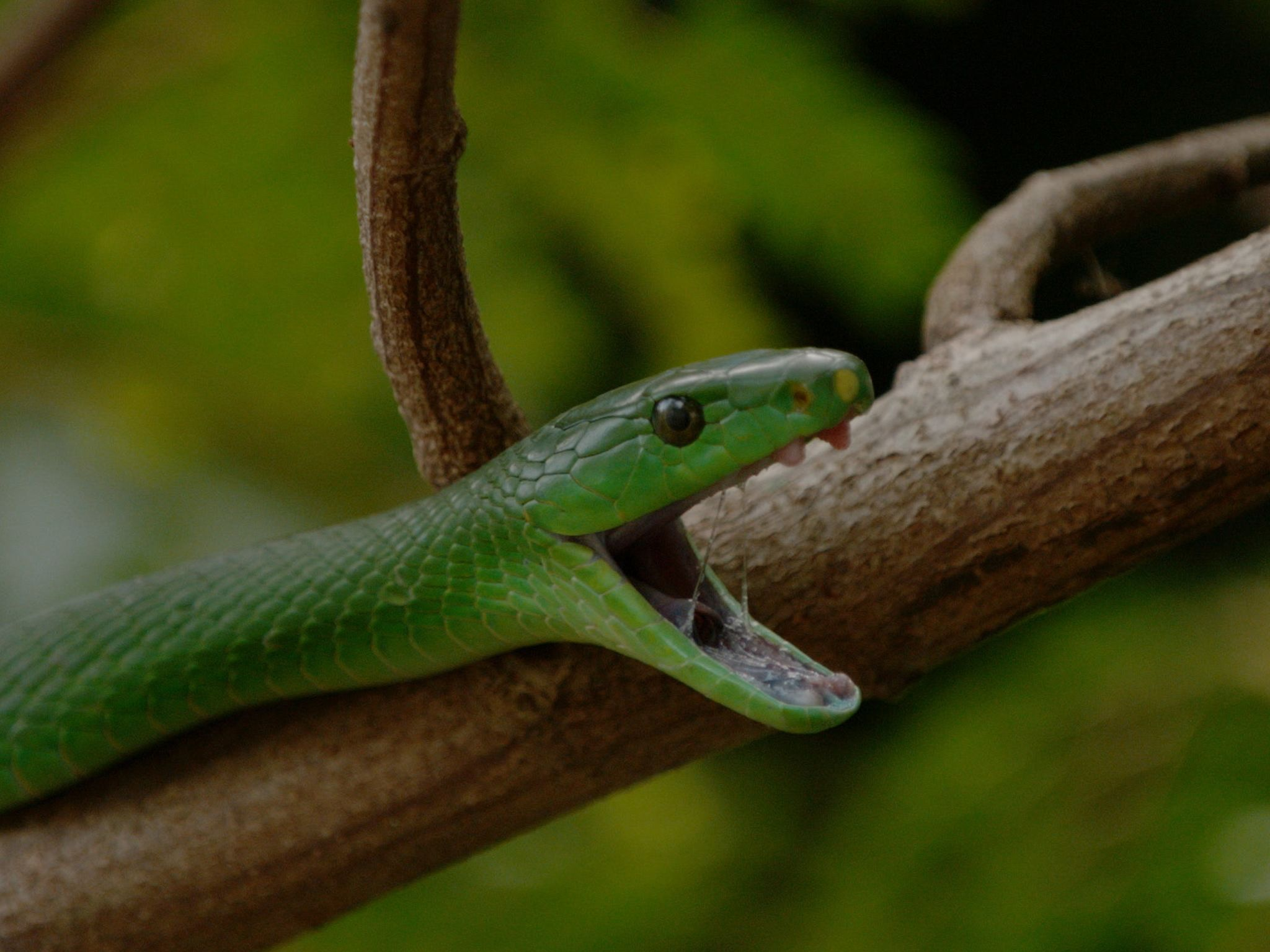 Close up shot of a green mamba (Dendroaspis angusticeps) opening its mouth in a in a... [Photo of the day - January 2021]