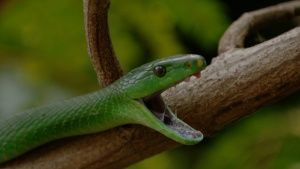 Close up shot of a green mamba... [Photo of the day - 15 JANUARY 2021]