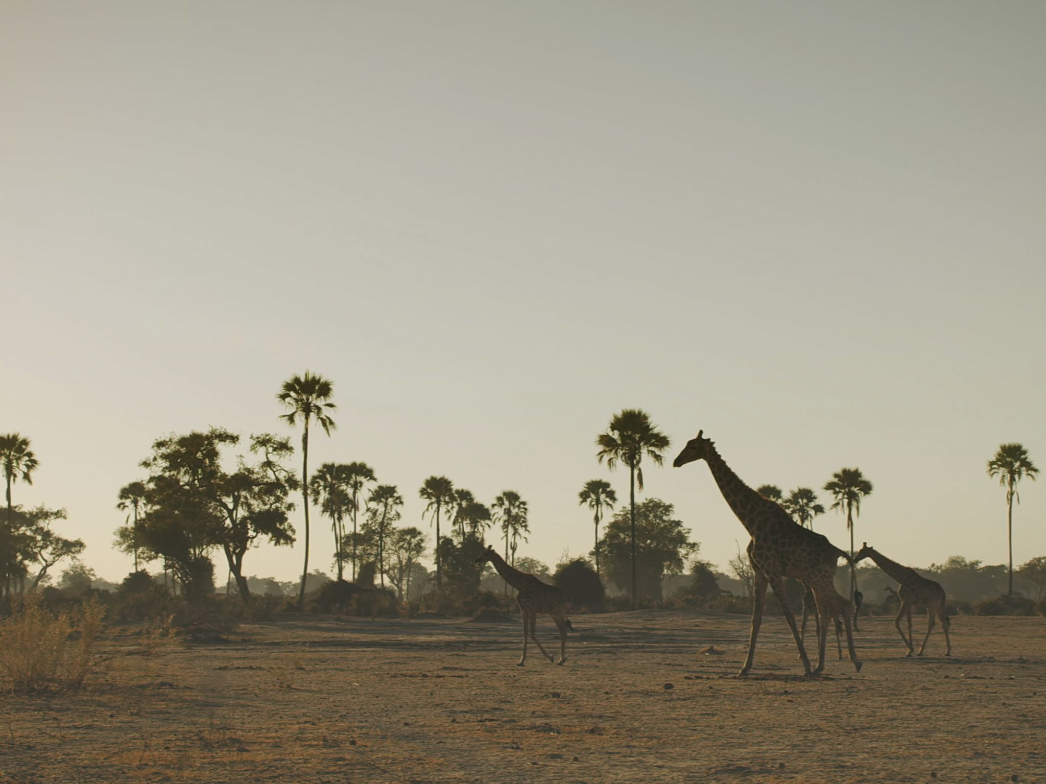 Giraffes walking along grassland. This image is from Savage Kingdom. [Photo of the day - January 2021]