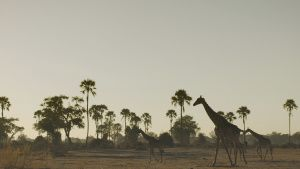 Giraffes walking along grassland.... [Photo of the day - 18 JANUARY 2021]