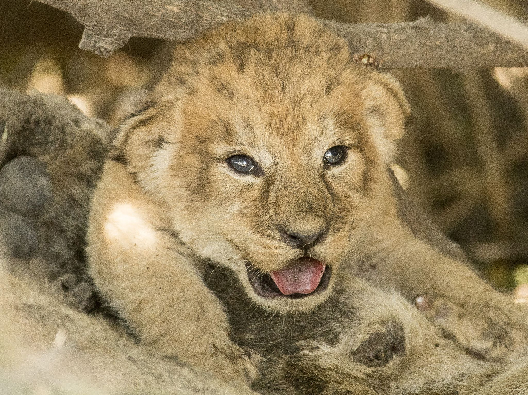 Tsebe's cub. This image is from Savage Kingdom. [Photo of the day - January 2021]