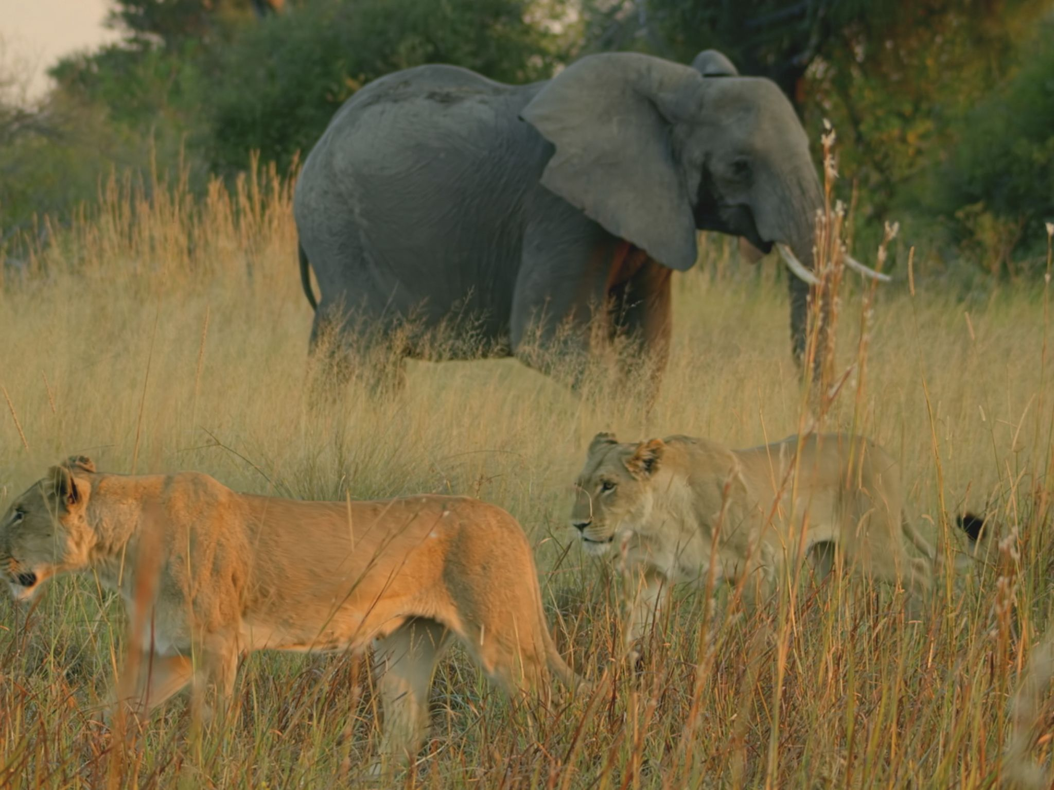 Two lionesses walk in front of an elephant. This image is from Savage Kingdom. [Photo of the day - January 2021]