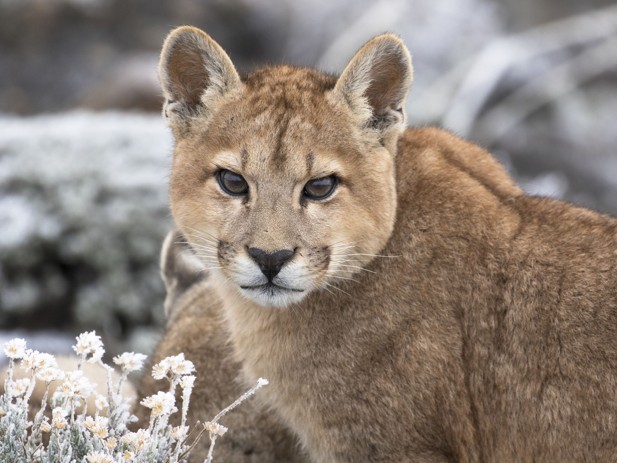 A puma. This image is from Pumas at The End of The World. [Photo of the day - January 2021]