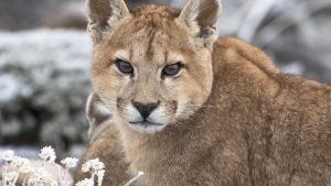 A puma. This image is from Pumas at... [Photo of the day - 25 JANUARY 2021]