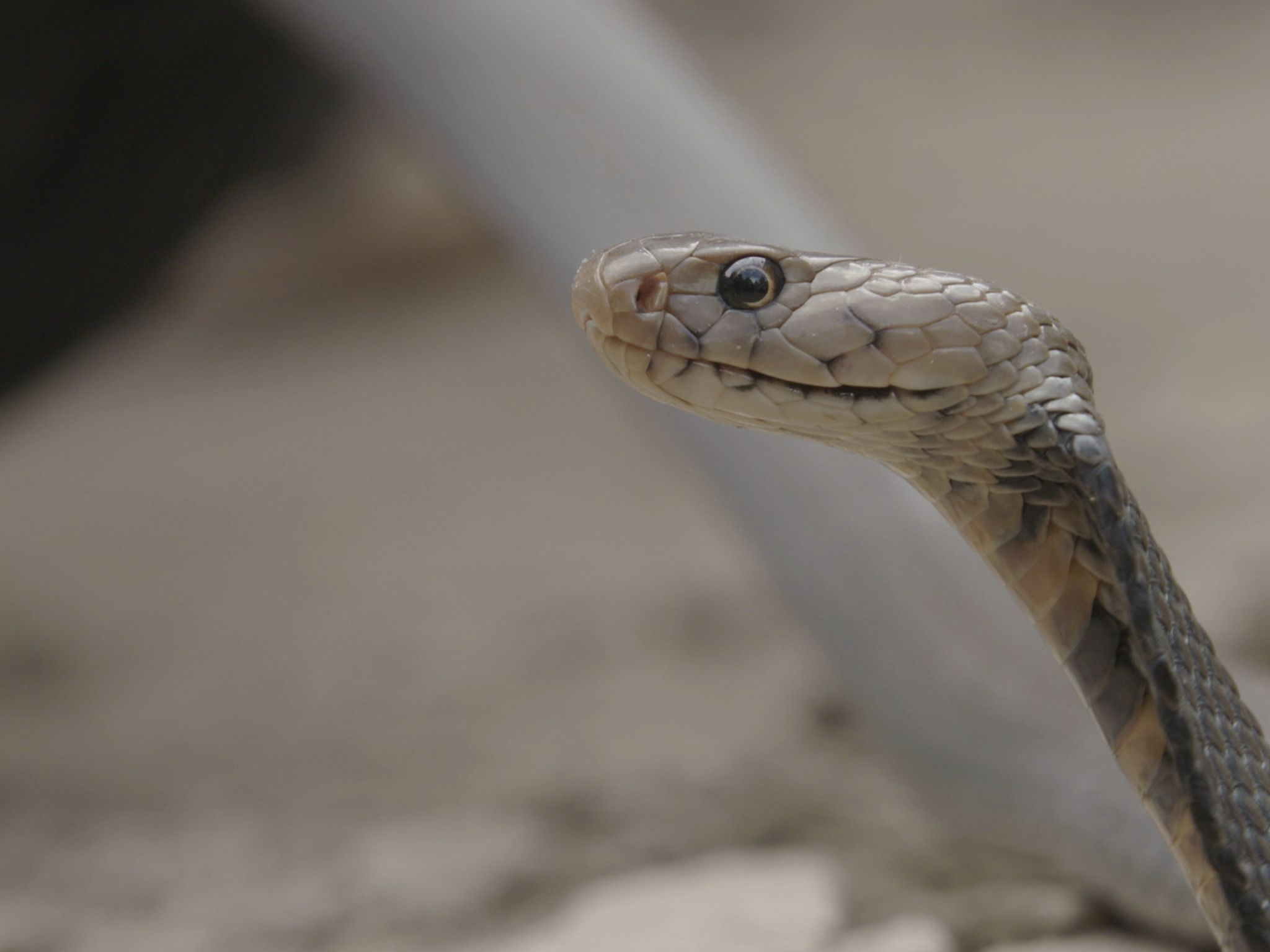 A Mozambique spitting cobra (Naja mossambica). This image is from Snake City. [Photo of the day - January 2021]