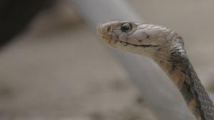 A Mozambique spitting cobra (Naja... [Photo of the day - 26 JANUARY 2021]