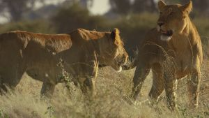 Two lionesses greeting one another.... [Photo of the day - 27 JANUARY 2021]