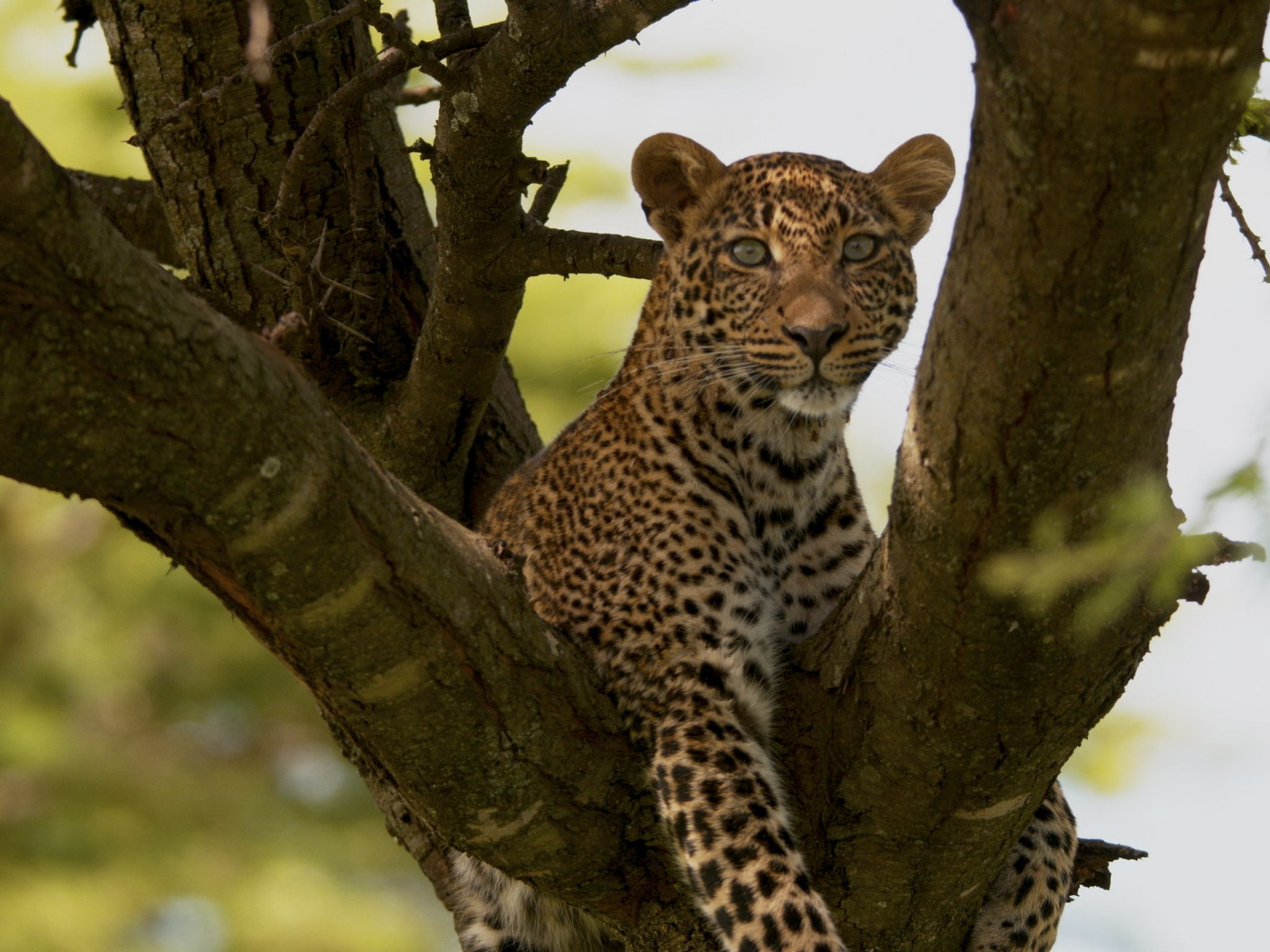 Toto lying in a tree. This image is from Jade Eyed Leopard. [Photo of the day - February 2020]