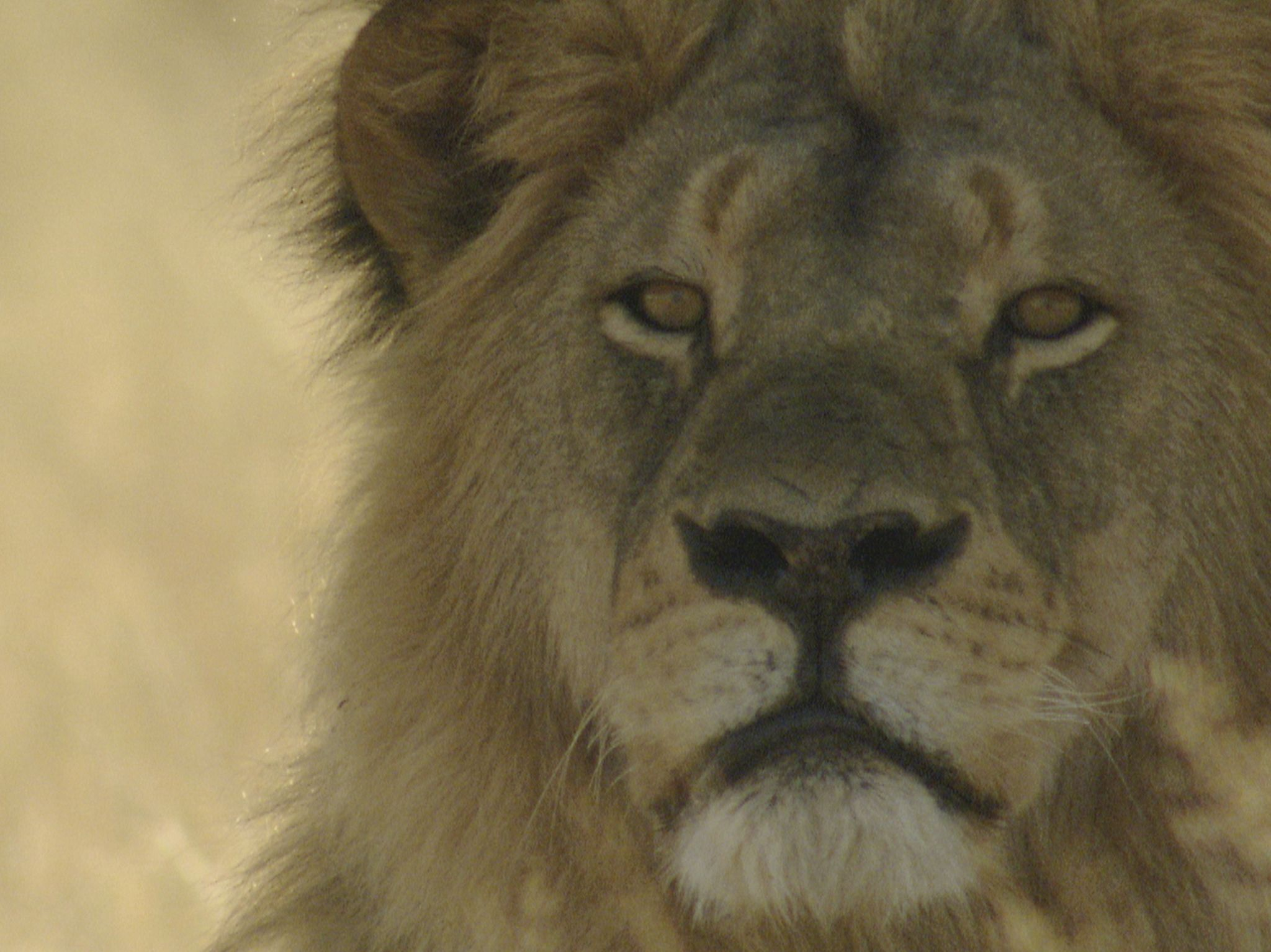 Male lion. This image is from Cecil: The Legacy of a King. [Photo of the day - February 2021]