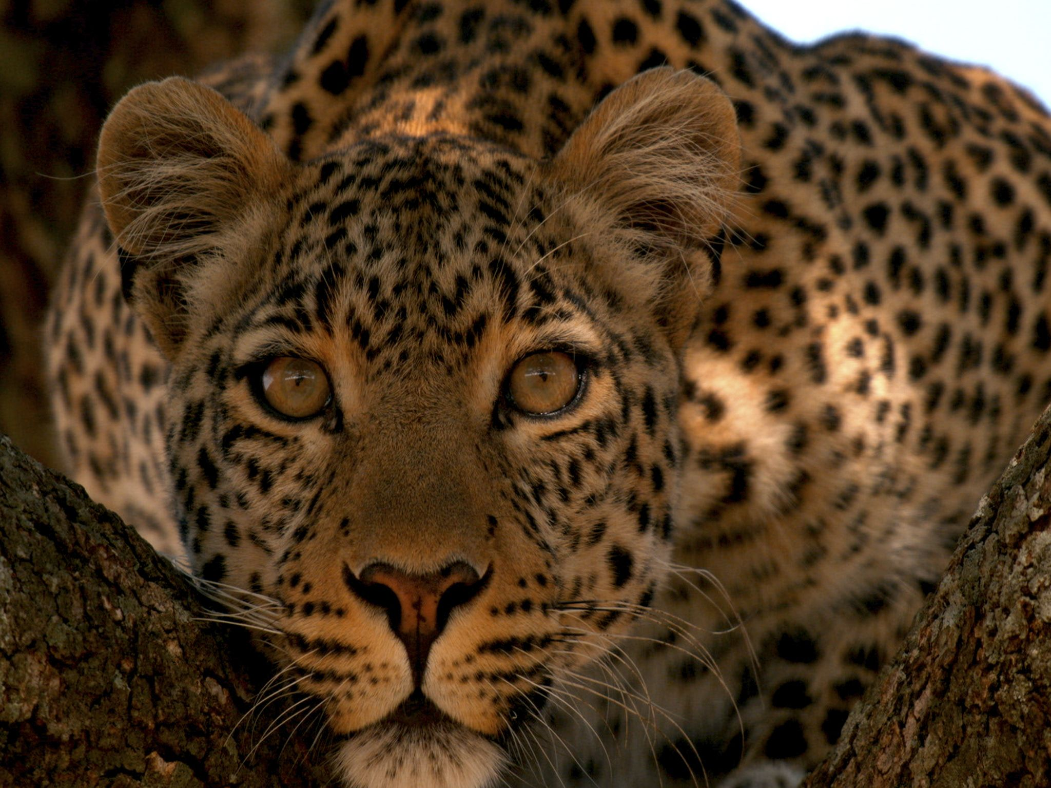 Fig in a tree, looking alert. This image is from Jade Eyed Leopard. [Photo of the day - February 2021]