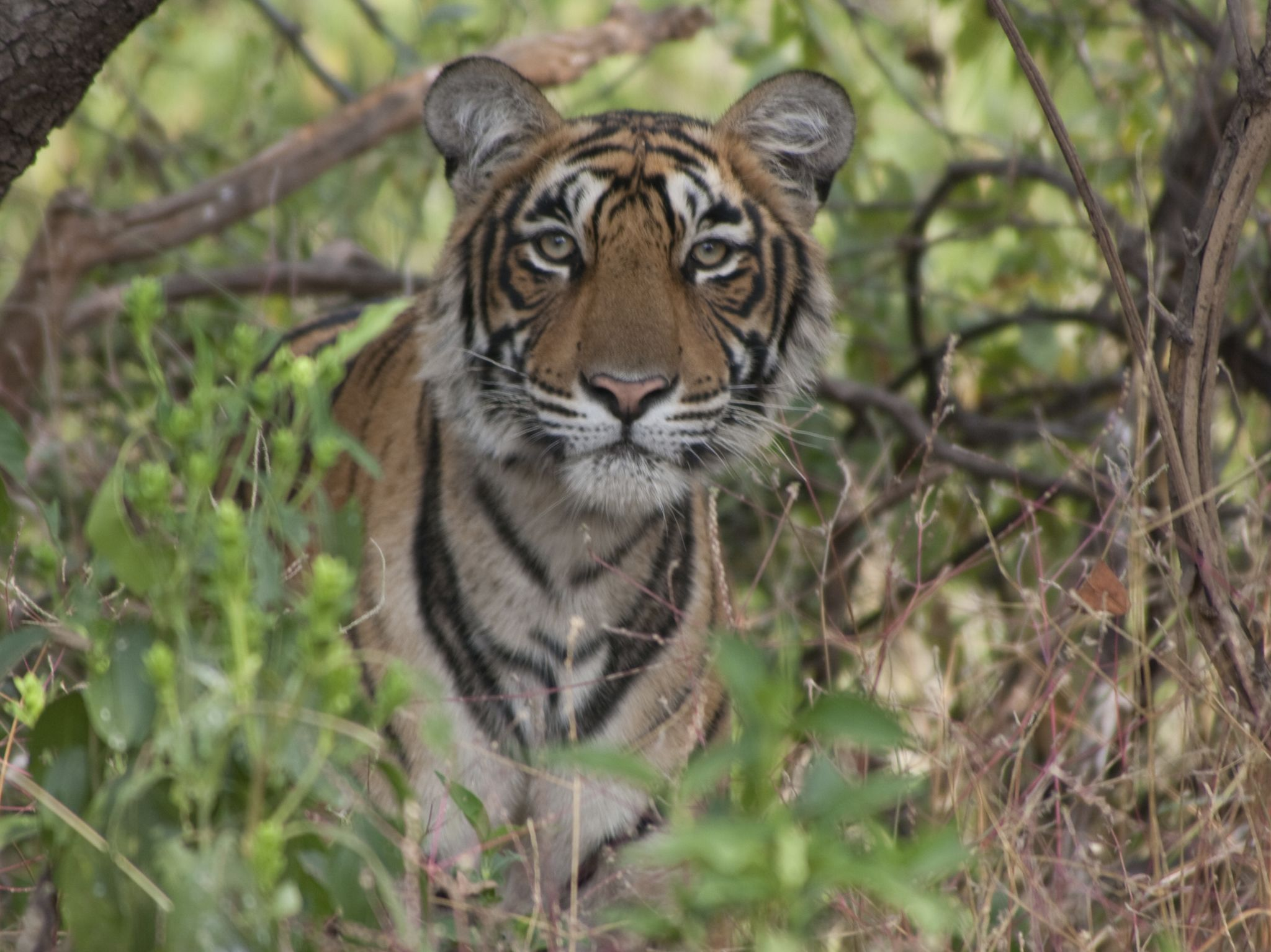 A tiger looks through the foliage in Ranthambhore National Park. The wildlife sanctuary is... [Photo of the day - February 2021]