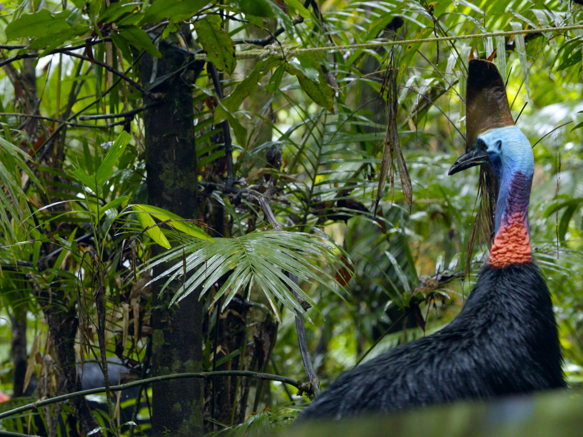 Big Bertha in s confrontation with a male cassowary called Taiga, who can be seen in the... [Photo of the day - February 2021]