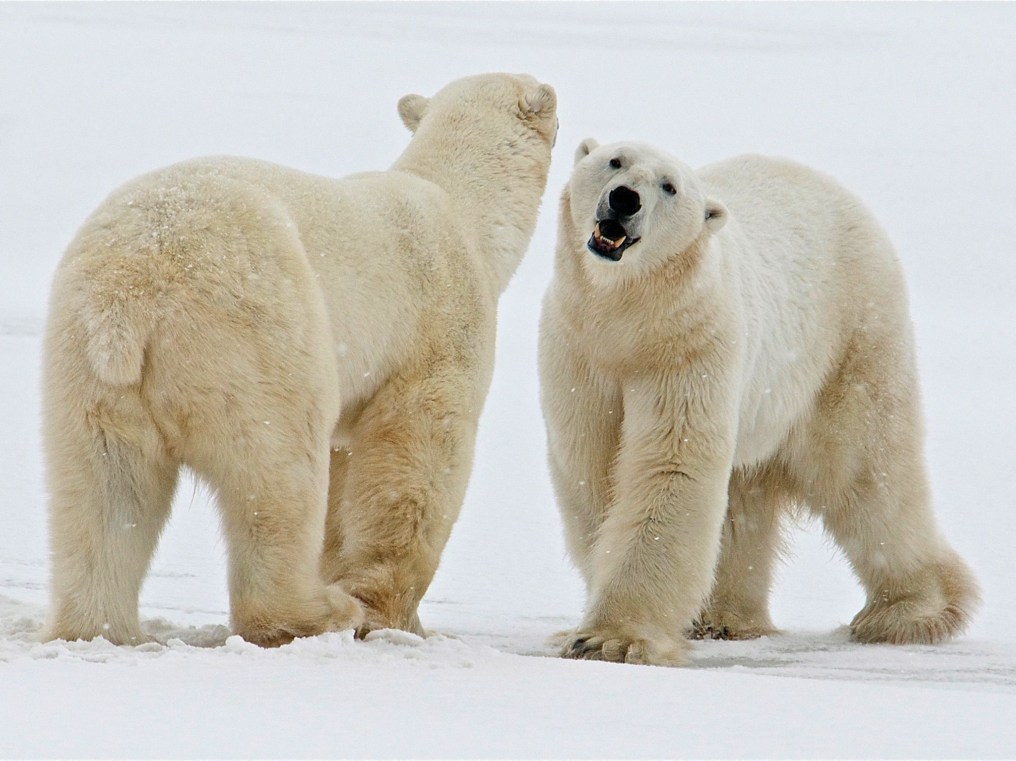 Two polar bears meet and greet each other. This image is from Wild Love. [Photo of the day - February 2021]