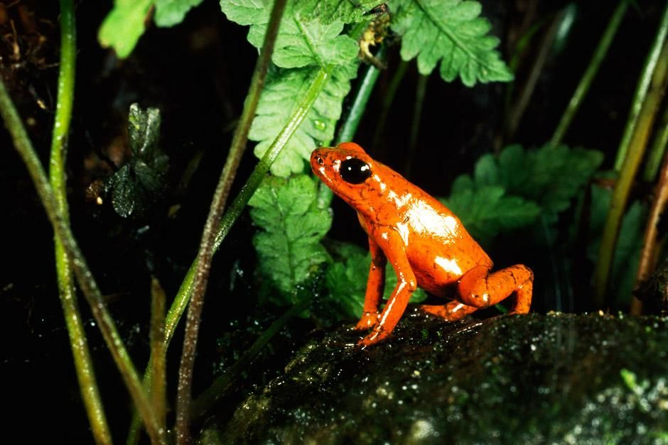 Costa Rica: A bright orange flaming poison dart frog. This image is from Nat Geo Amazing! [Photo of the day - 六月 2012]