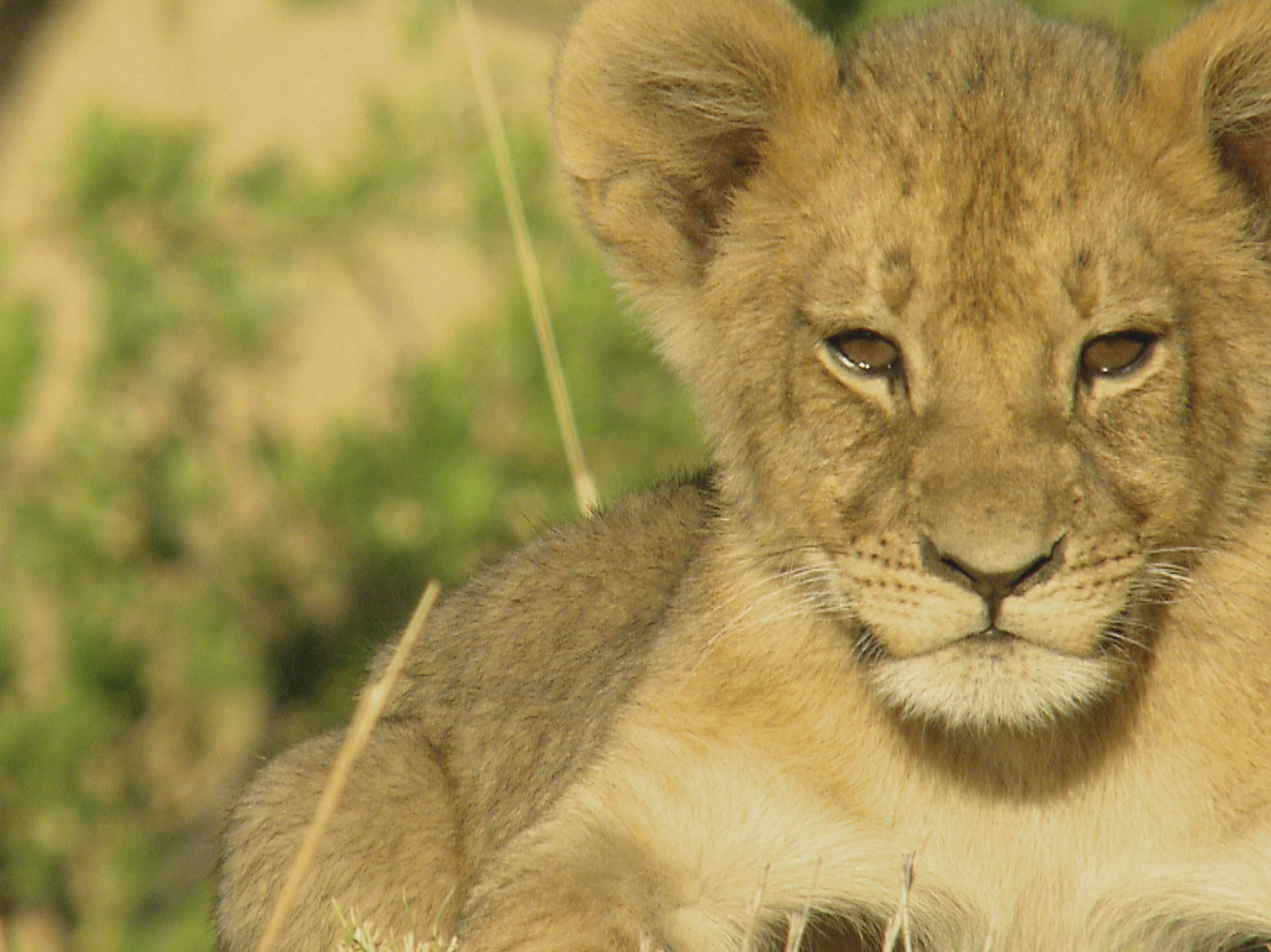 Lion cub. This image is from Cecil: The Legacy of a King. [Photo of the day - February 2021]