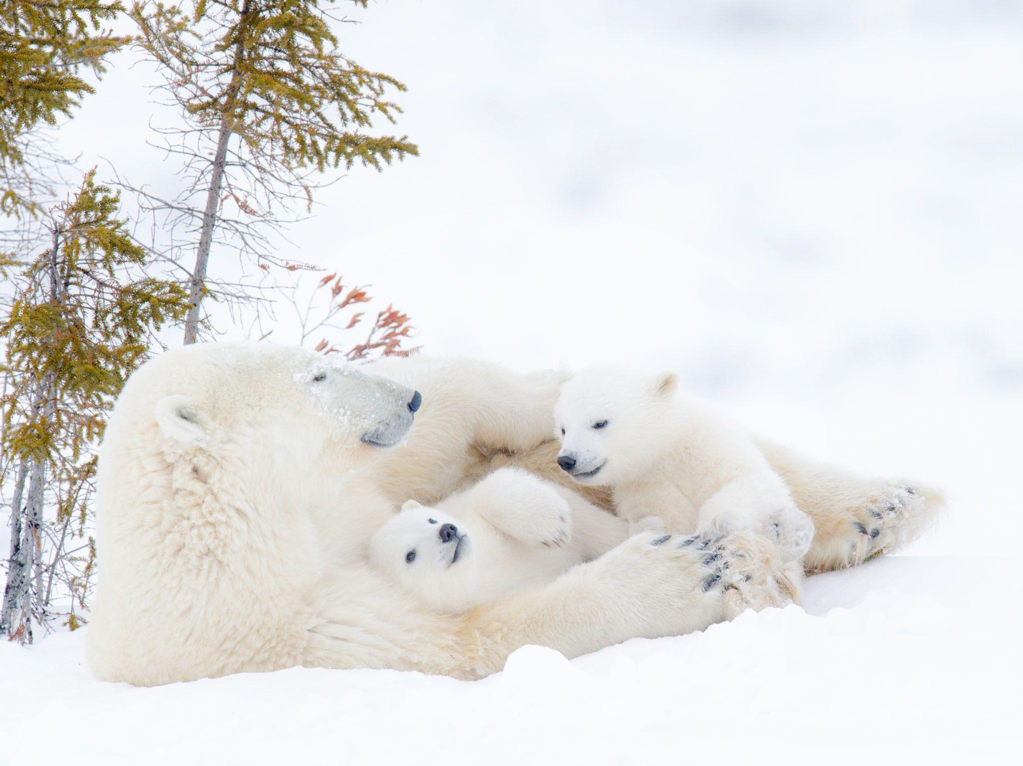 أنثى دُب قطبي (من نوع Ursus maritimus) تستريح مع اثنين من... [Photo of the day - مارس 2021]