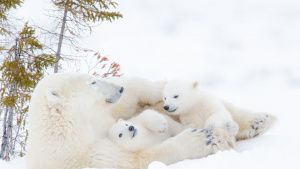 Polar bear mother (Ursus maritimus)... [Photo of the day -  1 مارس 2021]