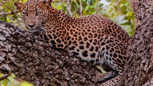 Sri Lankan leopards are mostly... [Photo of the day -  4 MARCH 2021]