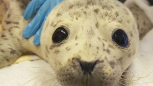 Rescued harbor seal, Boulder Baby,... [Photo of the day -  8 MARCH 2021]
