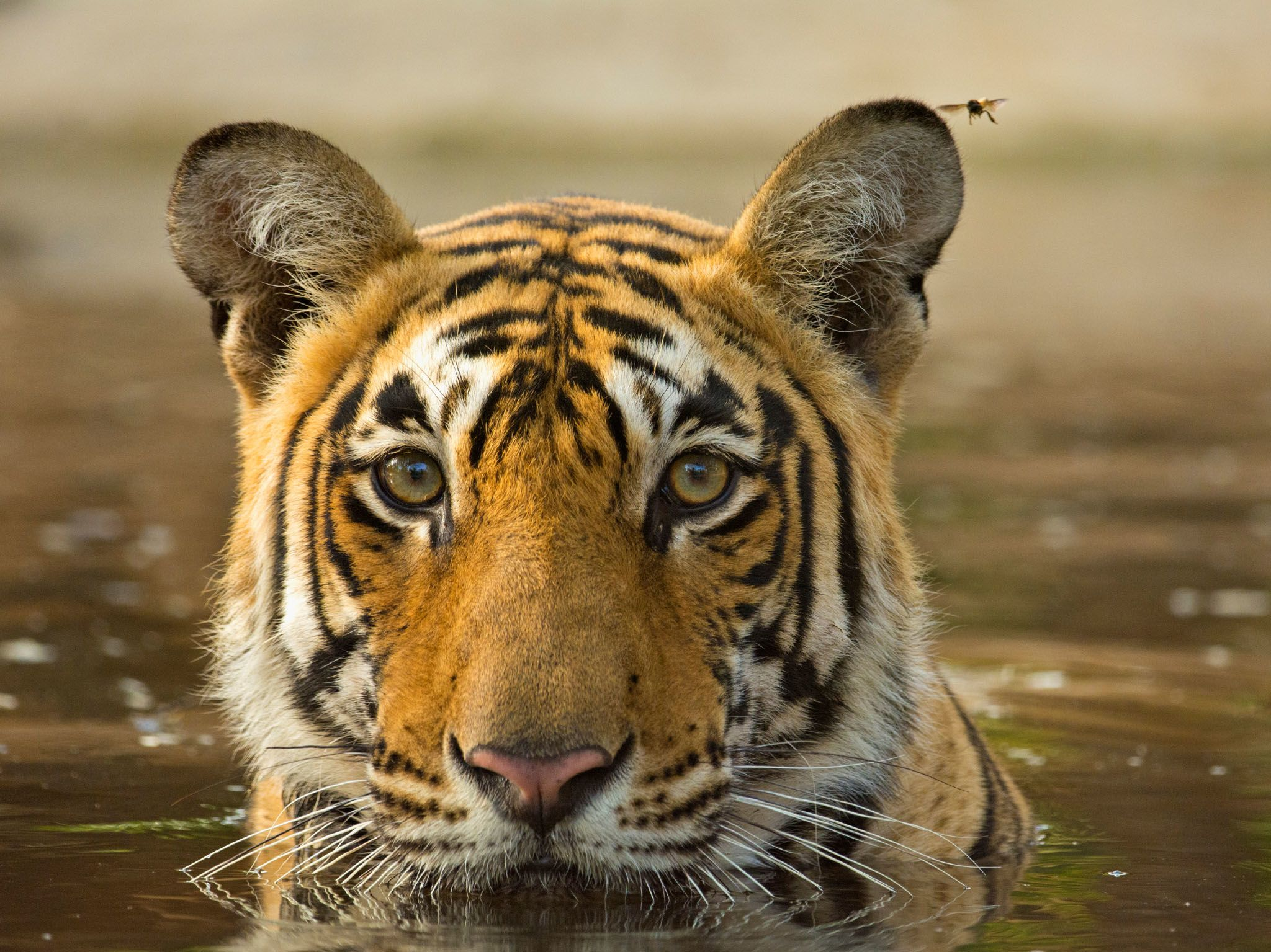 Tigers are one of only cats that enjoy cooling off in the water.  This image is from Asia's Wild... [Photo of the day - March 2021]