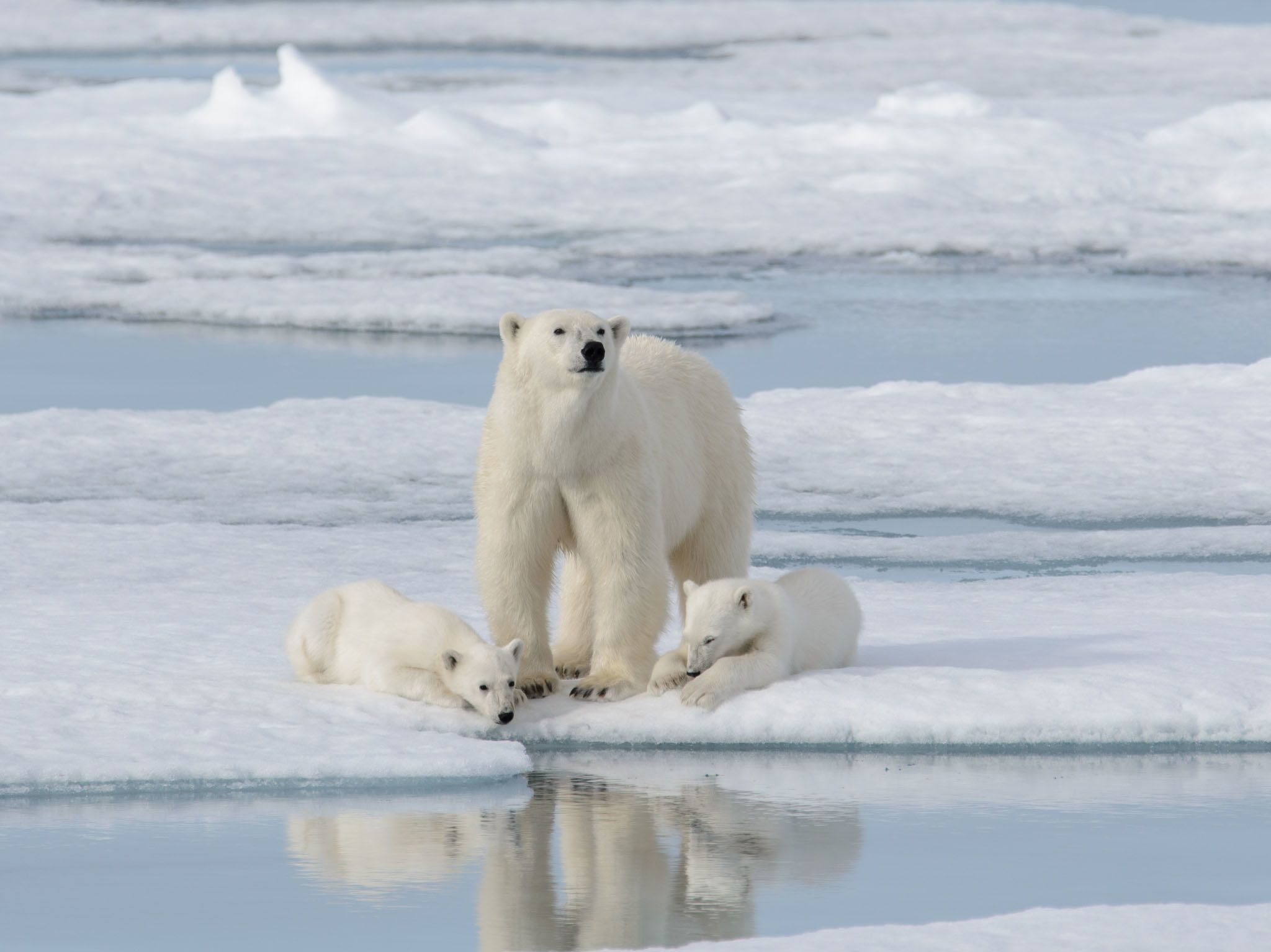 Polar bear (Ursus maritimus) mother and cub on the pack ice. This image is from Kingdom of The... [Photo of the day - March 2021]