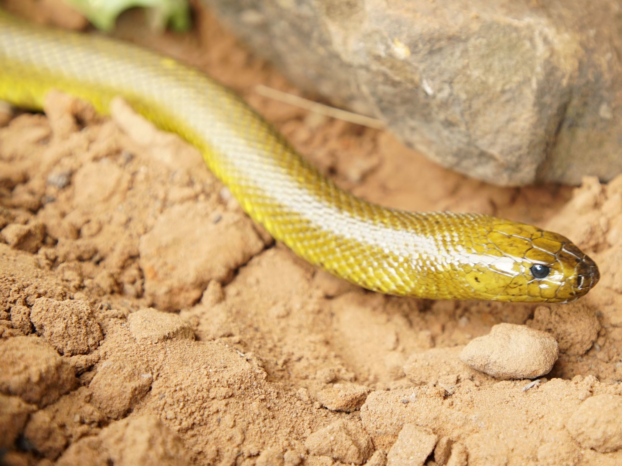 An inland taipan (Oxyuranus microlepidotus). This image is from World Deadliest Snakes. [Photo of the day - March 2021]