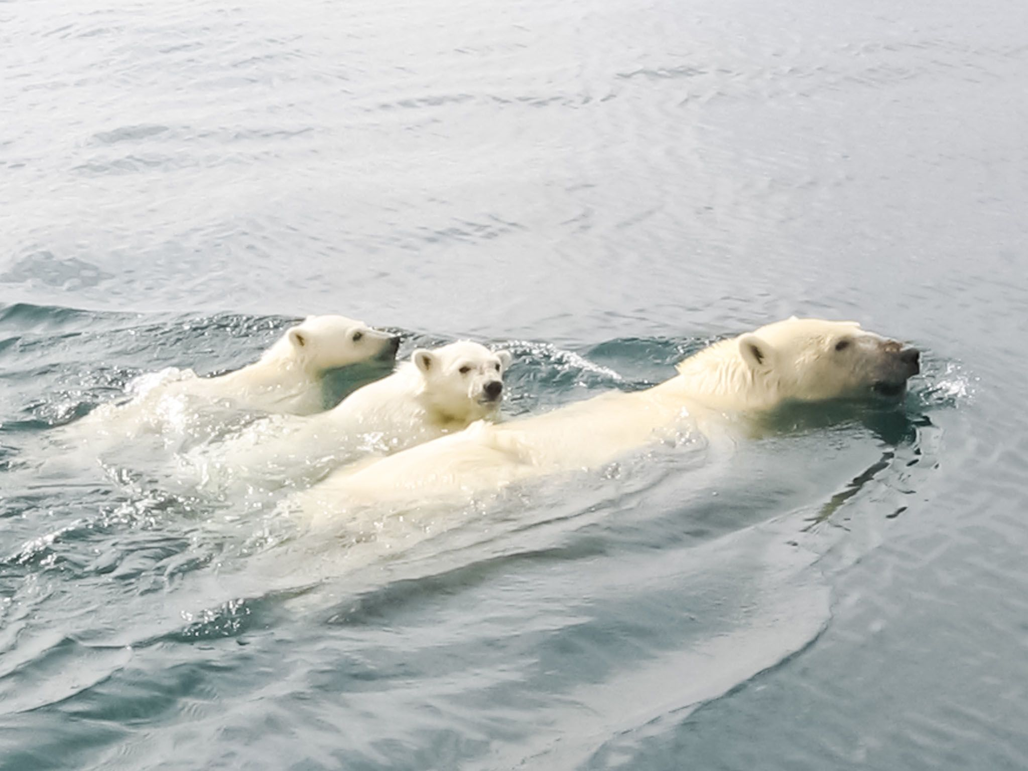 Polar Bear and cubs swimming. This image is from Kingdom of The Polar Bears. [Photo of the day - March 2021]