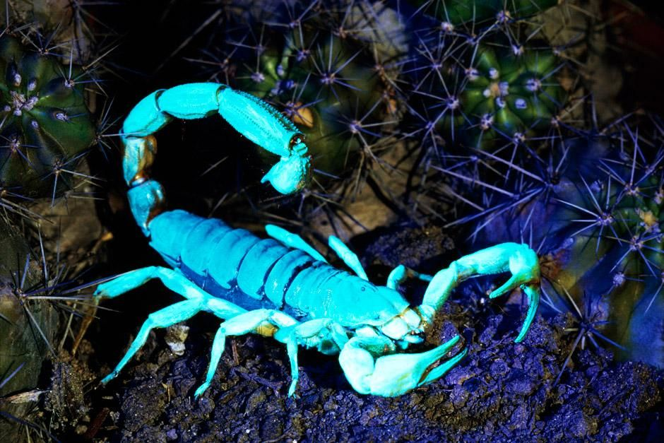 Arizona: A hairy scorpion glows under ultraviolet light. Their sharp pincers mince their prey. ... [Photo of the day - 六月 2012]