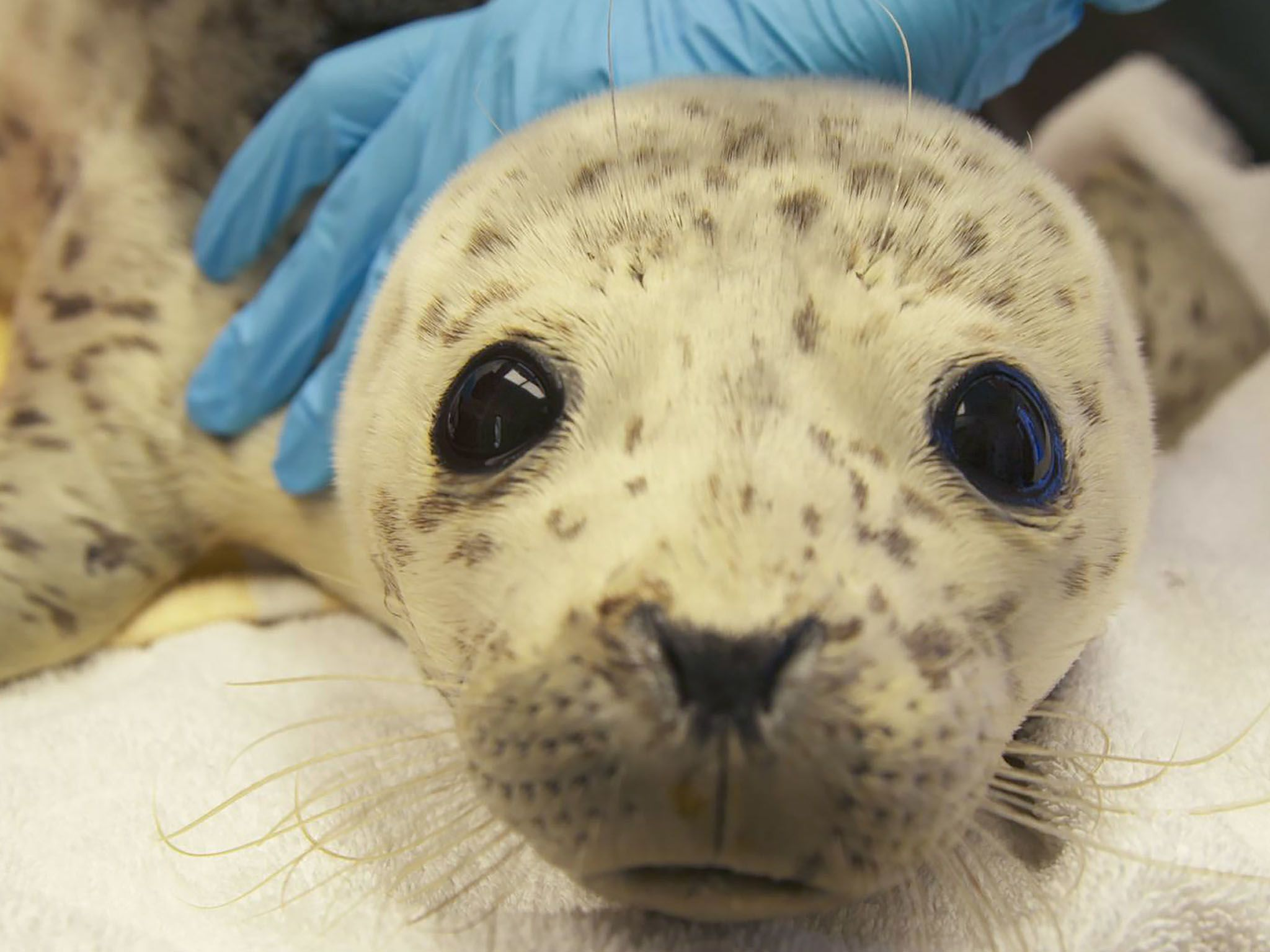 Rescued harbor seal, Boulder Baby, is held by Alaska SeaLife Center staff during a routine check... [Photo of the day - March 2021]