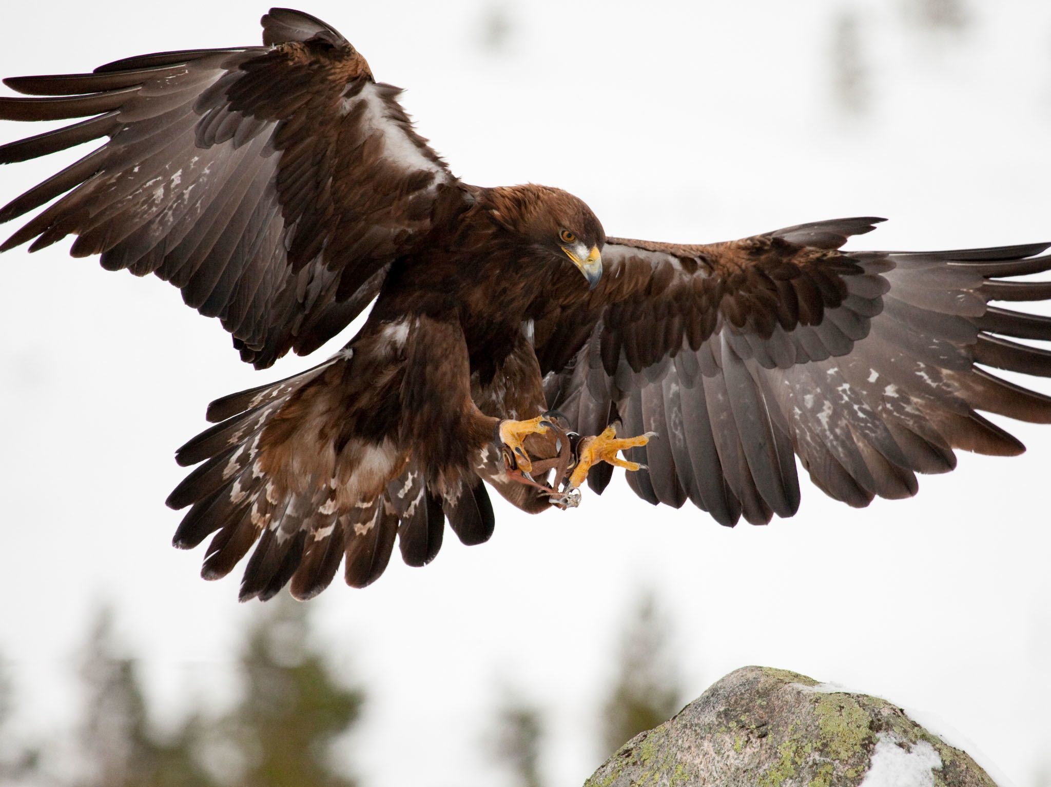 The golden eagle has a wingspan of almost seven and a half feet, allowing them to fly hundreds... [Photo of the day - March 2021]