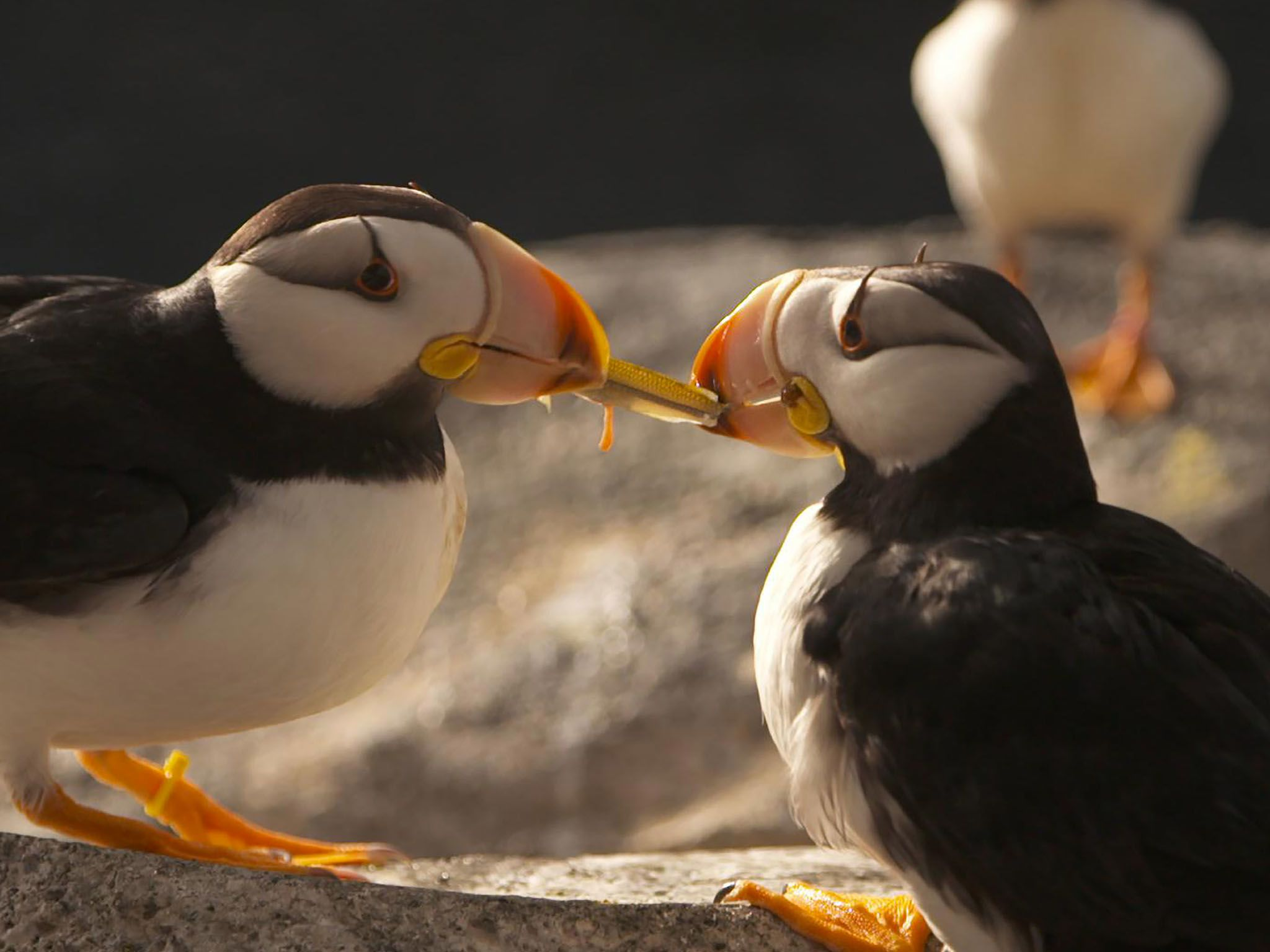 Two horned puffins fight over a fish in the Alaska SeaLife Center. This image is from Alaska:... [Photo of the day - March 2021]